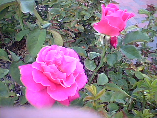 rose taken with lg 225 camera