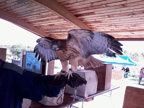 raptor red-tailed hawk taken with Samsung Galaxy Precedent