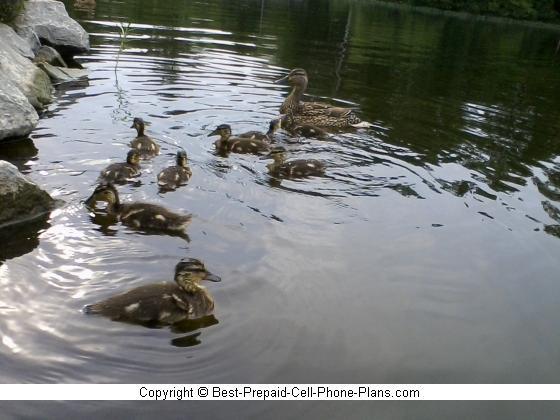 Ducks taken with Samsung S275g